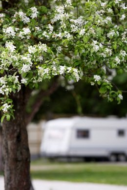 Campingplatz Nord-West Impressionen - blühender Baum
